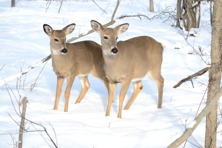 Whitetail deer yearling standing in the woods in winter snow.
