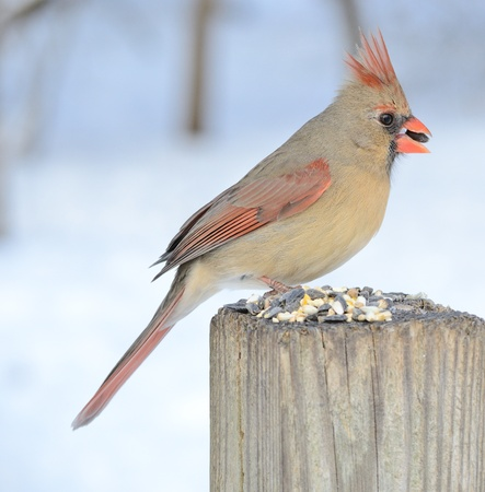 A female cardinal perched on a park bench eating bird seeds. photo