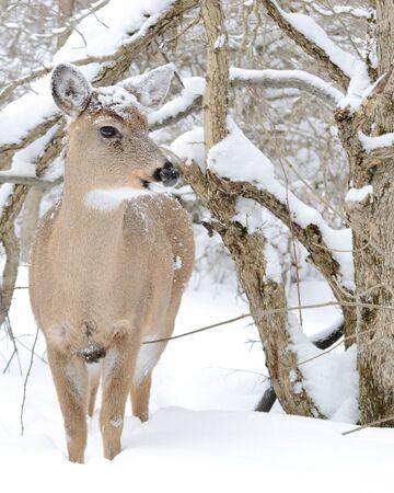Whitetail Deer Doe photo