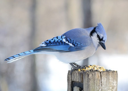 A blue jay perched on a post with bird seed. Stock fotó