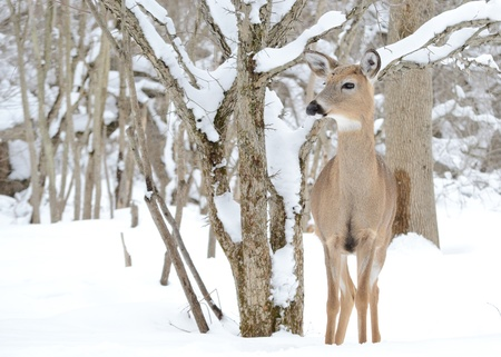 Whitetail deer yearling standing in the woods in winter snow. photo