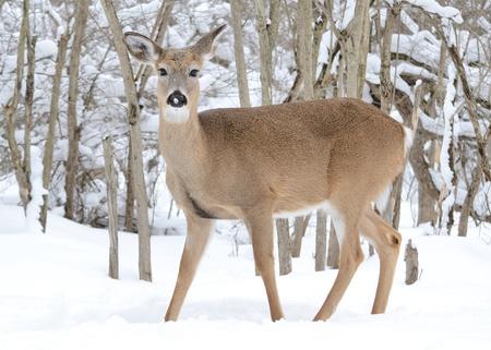 venado: Permanente de P�rez de ciervo de gris en el bosque en la nieve del invierno. Foto de archivo