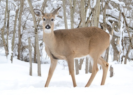 Whitetail deer doe standing in the woods in winter snow.