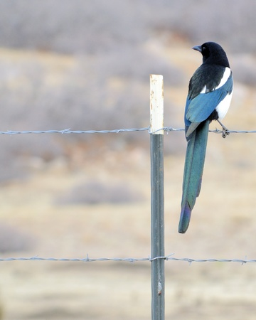 perched: A Black-billed Magpie perched on a barbed wire fence.