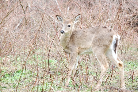 the thicket: Whitetail deer yearling standing in a thicket.
