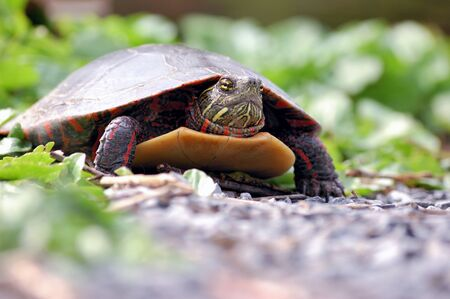 ground level view of a painted turtle. Stock Photo - 9389282