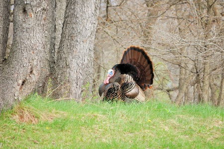 Strutting male wild turkey displaying in the spring mating season. Stock Photo