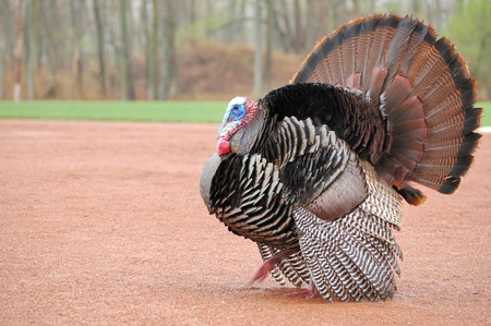 turkey bird: Strutting male wild turkey displaying in the spring mating season. Stock Photo