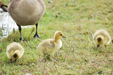 Three Canada goose goslings sitting in the grass. Stock Photo - 9472036