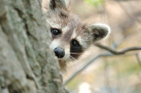 Head shot of a young raccoon peeking around a tree trunk.