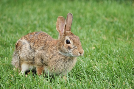 Cottontail rabbit sitting on the grass. photo