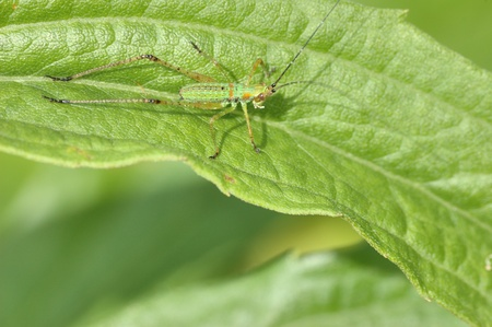 A katydid nymph perched on a plant leaf. Stock fotó