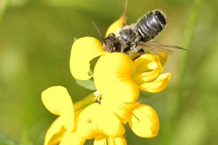 A bee collecting pollen perched on a flower. Banco de Imagens