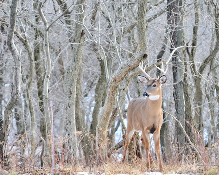 Young Whitetail Deer Buck standing at the edge of the woods. Stock Photo - 10995708