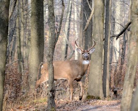 venado cola blanca: Deer jóvenes Whitetail de pie al borde de los bosques.