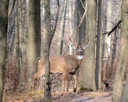 whitetail deer: Young Whitetail Deer Buck standing at the edge of the woods. Stock Photo