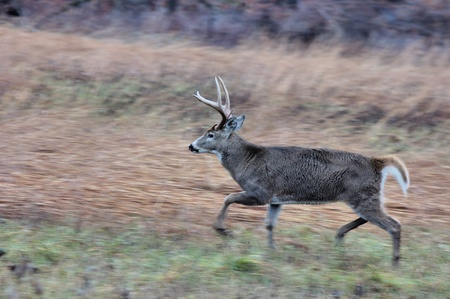 Young Whitetail Deer Buck on the move during rutting season. photo