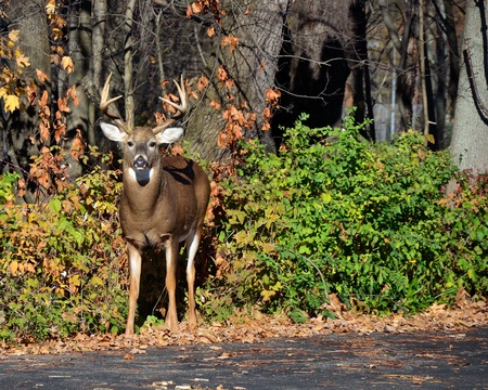 rutting:  Whitetail Deer Buck standing at the edge of a woods during the fall rutting season.