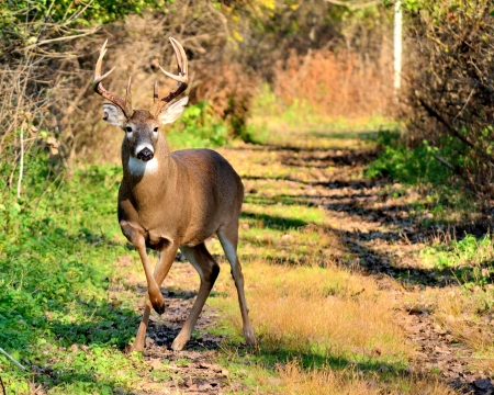 Whitetail Deer Buck standing on a path in the woods. photo