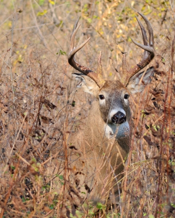 Whitetail Deer Buck closeup standing in a field. photo