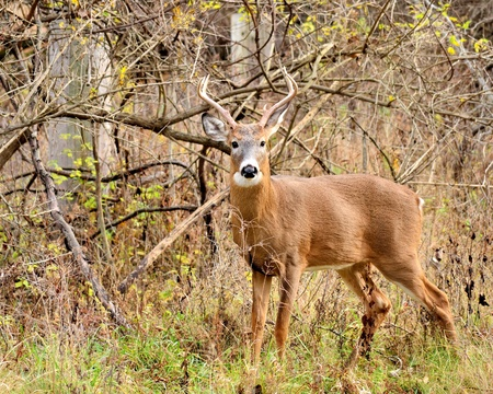 Young Whitetail Deer Buck standing in a thicket. photo