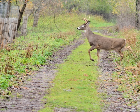 Young Whitetail Deer Buck crossing a path in the woods. photo
