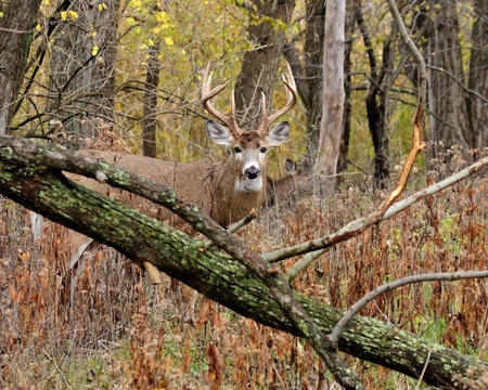 Whitetail Deer Buck standing in a thicket. photo