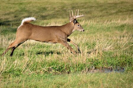 Whitetail Deer Buck running in a field. photo