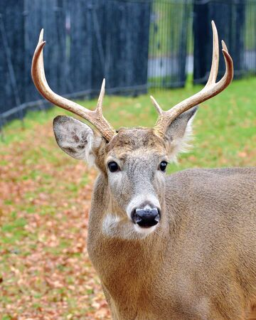 Whitetail Deer Buck closeup standing in a cemetery. photo