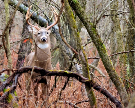 Whitetail Deer Buck standing in a thicket in the rain.
