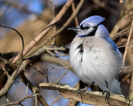 A blue jay perched on a tree branch.