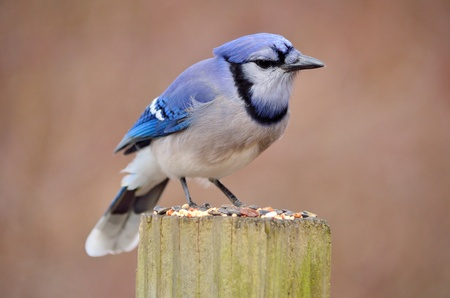 A blue jay perched on a post with bird seed. Stock Photo