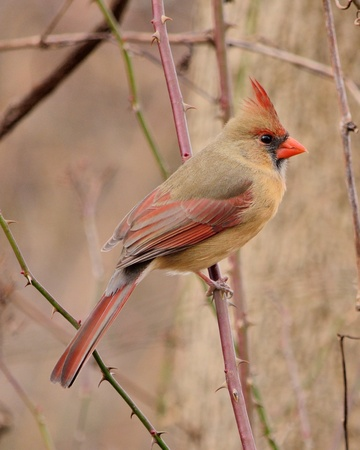 cardinal: A female cardinal perched on a tree branch.