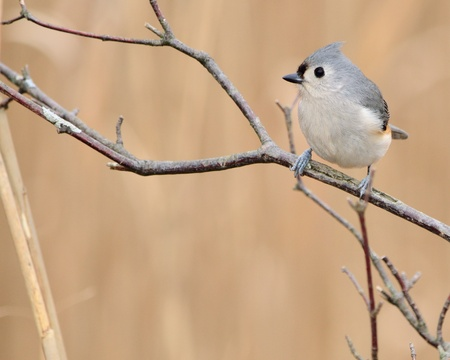 titmouse: Tufted titmouse perched on a tree branch. Stock Photo