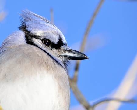 A Closeup Of A Blue Jay head. photo
