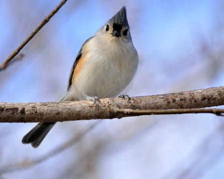 tufted: Tufted Titmouse perched on a tree branch. Stock Photo