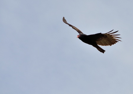 turkey vulture: Turkey Vulture in flight and soaring against a blue sky. Stock Photo