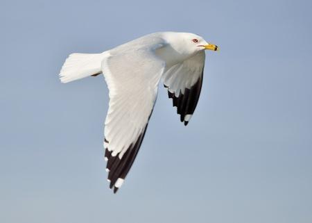 Ring-gefactureerd Seagull tijdens de vlucht tegen een blauwe hemel