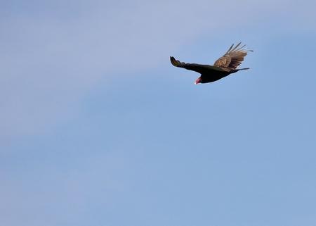 turkey vulture: Turkey Vulture soaring in flight against a blue sky.