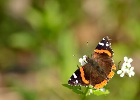 admiral: Red Admiral Butterfly collecting nectar from blossoms in the spring.