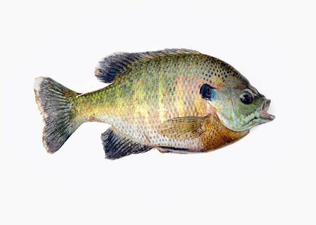 sunfish: Freshwater Sunfish isolated on a white background.