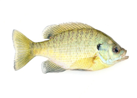 bluegill: Freshwater Sunfish isolated on a white background.