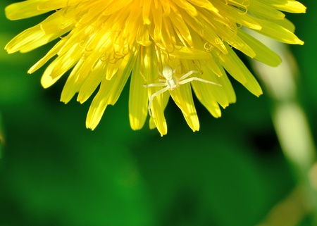 flower crab spider: A Crab Spider perched on a flower.