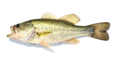 largemouth bass: A Bass gran boca contra un fondo blanco.