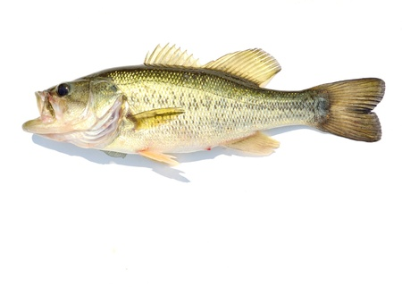 largemouth bass: A Large-mouth Bass against a white background.