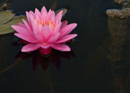 lilypad: Pink Water Lilly floating in a pond. Stock Photo