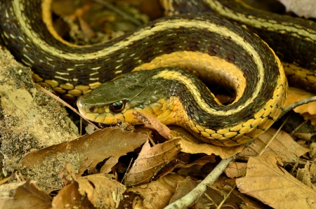 cold blooded: Garter Snake crawling along the forest floor.