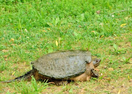 snapping turtle: Snapping Turtle walking across a grass covered path. Stock Photo