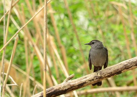 catbird: Catbird perched on a tree branch in a swamp.