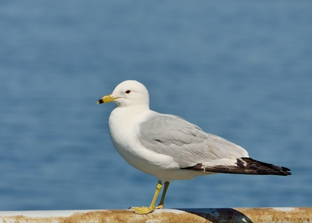 Ring-billed Seagull Perched on a metal railing along a lake.